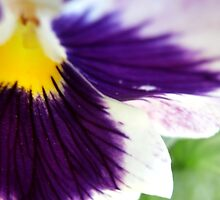 Pansy by schwaes