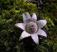 Earth Star Puffball by Charles & Patricia   Harkins ~ Picture Oregon