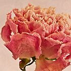 Dried Peony Macro - Textured Background  by Sandra Foster