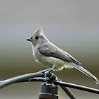 Young Tufted Titmouse by RoyceRocks