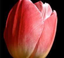 A Red Tulip symbolises True Love  by Jensphotos
