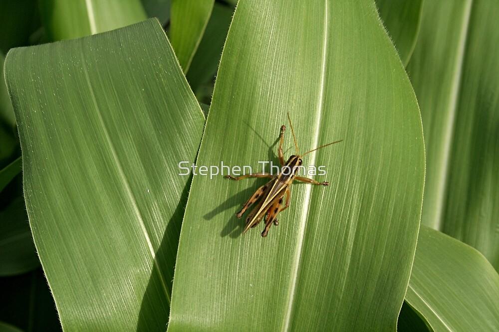 Grasshopper on corn leaf by Stephen Thomas