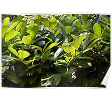 Green leaves background Poster