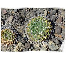 Small round cacti on the ground Poster