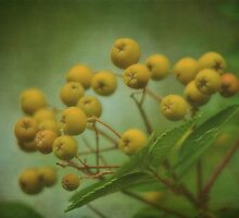 Mountain Ash Berries by Dorothy  Pinder