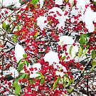 Berries in the Snow  by lorilee