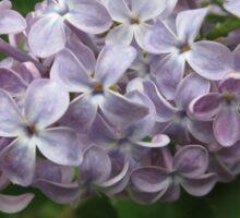 Lilac 4 Sticker