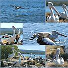 Pelicans at Evans Head by Julie Sherlock