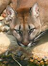 Thirsty Puma by SWEEPER
