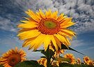 Sunflower morning . by SWEEPER