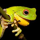 Red-Eyed Tree Frog - Litoria chloris by D Byrne