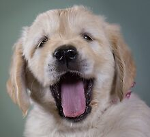 Golden Retriever Puppies - as they grow by kim wormald