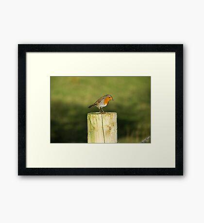 Rocking Robin Framed Print