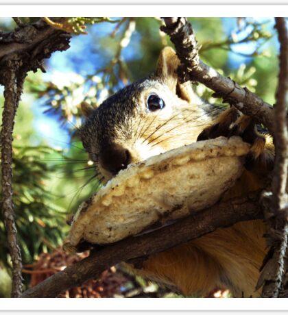 Squirrel Eating a Sandwich Sticker