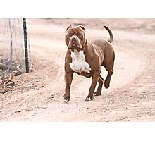 Hexin the pit bull  Photographic Print
