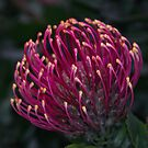 Protea Orange yellow bloom near cafe Werribee Zoo Victoria 20161114 7733 by Fred Mitchell