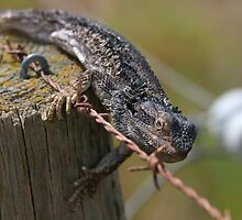 Fencing Lizard by Stuart Daddow Photography
