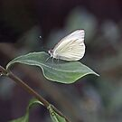 FLORIDA WHITE BUTTERFLY  by TomBaumker