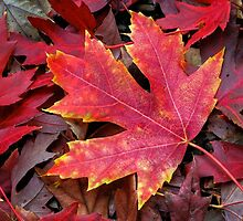 Autumn Maple Leaf on Forest Floor by Kenneth Keifer