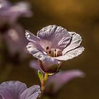 Pink Blossom Flower by Pixie Copley LRPS