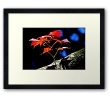 Maple Blast Framed Print