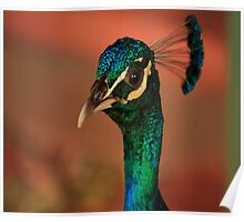 Outback Peacock Posing Poster