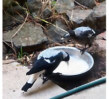 This is how it's done - magpies feeding Kilmore East Vic Aust Photographic Print