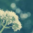 Queen Annes Lace by mallorybottesch