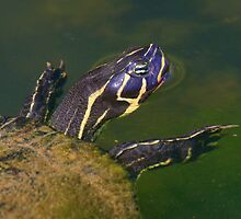 Florida Redbelly Cooter by William C. Gladish