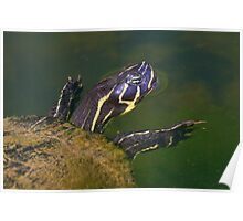 Florida Redbelly Cooter Poster
