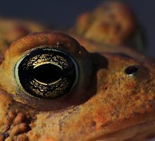 American Toad by Kane Slater