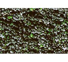 Ivy Wall Photographic Print