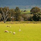 Sheep Grazing  by julie anne  grattan
