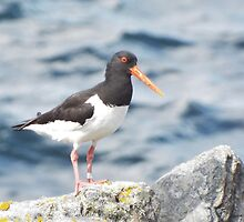 Oyster-catcher by PeterBarr