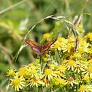 Gatekeeper on ragwort by Vanella Mead