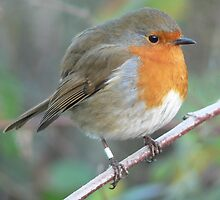 Robin Ready for Winter by ChameleonImages