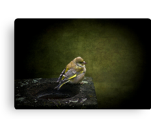 Solitary Finch Canvas Print