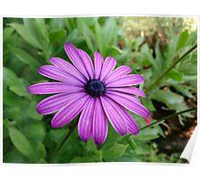 Aster flower Poster