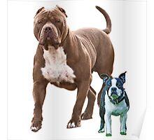 Pit bull Boston terrier Poster