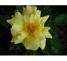 Yellow Rose-Flowers Series - 6 Photographic Print