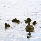 ducklings in the water by sebmcnulty