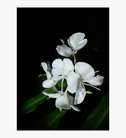 Ginger Lilies at Night Photographic Print