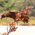 Kaka - a time to feast.........Great Barrier Island.......!! by Roy  Massicks