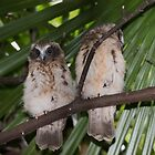 Boobook Owlets by NaturesGuardian