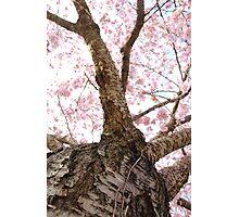 Cherry Blossum Photographic Print