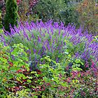 Purple Salvia In The Garden by Cynthia48