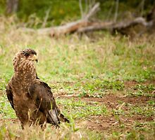 Goshawk Falcon by Tim Cowley