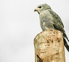 Lizard Buzzard (Hawk) by Tim Cowley