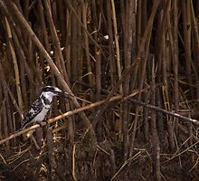 Pied Kingfisher by Tim Cowley