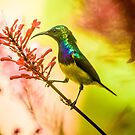 Yellow Bellied Sunbird by Tim Cowley